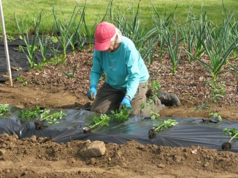 Planting tomatoes undeer weed-suppressing covers