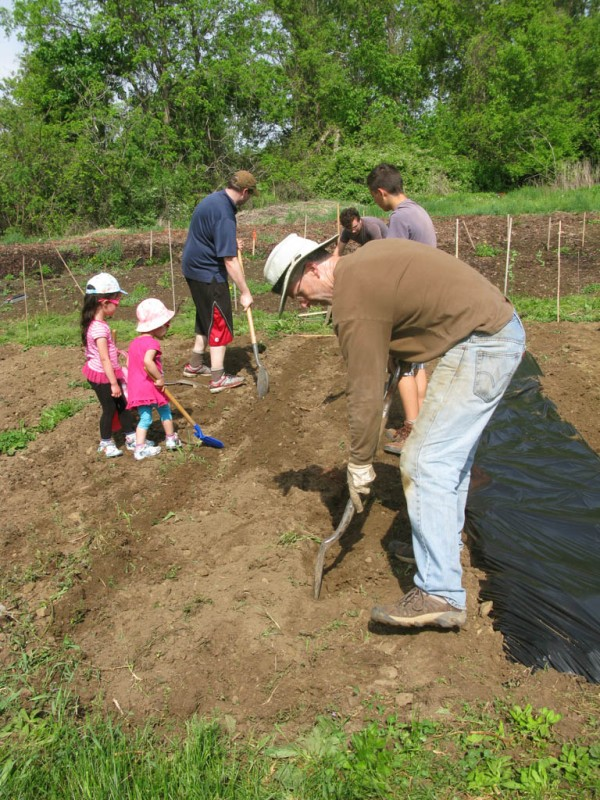 Preparing the tomatoe rows for planting
